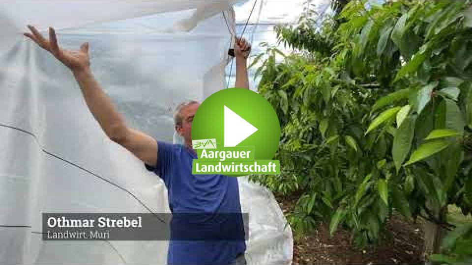 Embedded thumbnail for Warum werden Kirschbäume mit Plastikfolien abgedeckt?